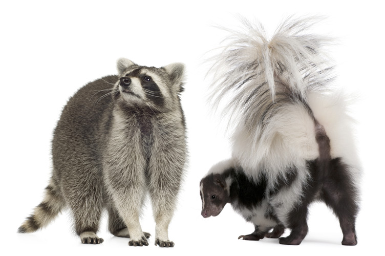 Raccoon and skunk